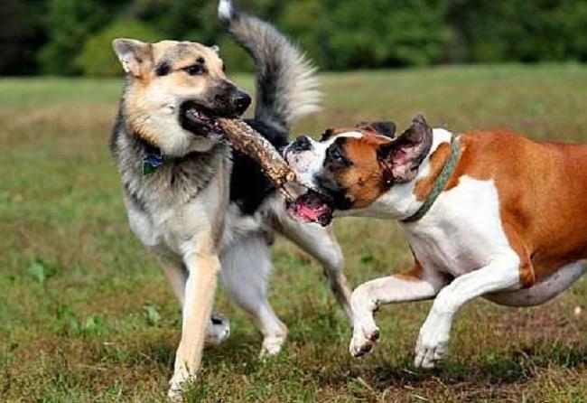 ¿Cómo aumentar la inmunidad de los perros?