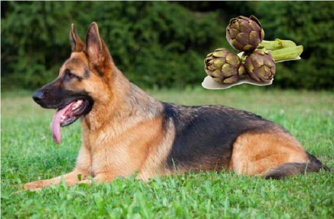 ¿Los perros pueden comer alcachofas?