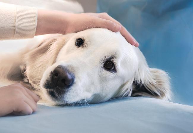 Preparativos del perro para una cirugía electiva