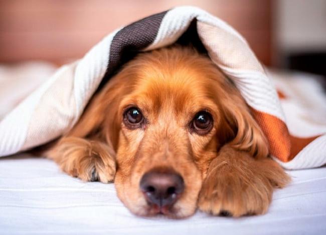 Aprende los cuidados postoperatorios de los perros